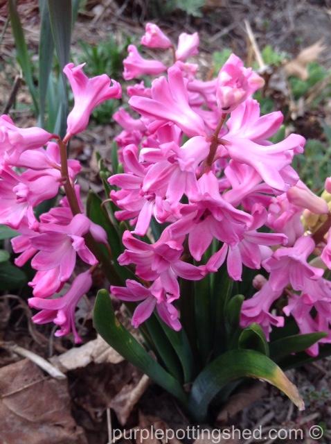 Hyacinth 5.jpg