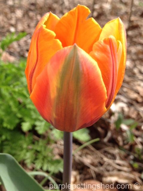 Tulips, orange 6.jpg
