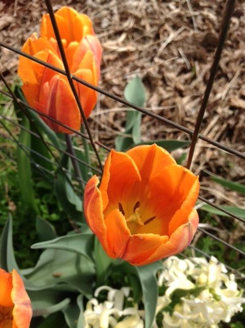 Tulips, orange 1.jpg