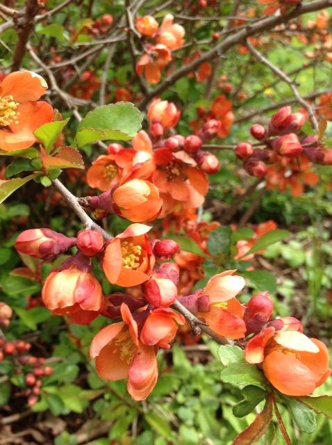 Quince, blooming branch.jpg