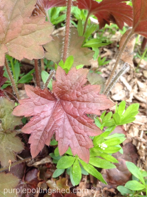 Coral bells, new leaf.jpg