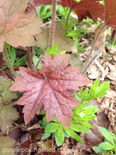 Coral bells, new leaf.jpg