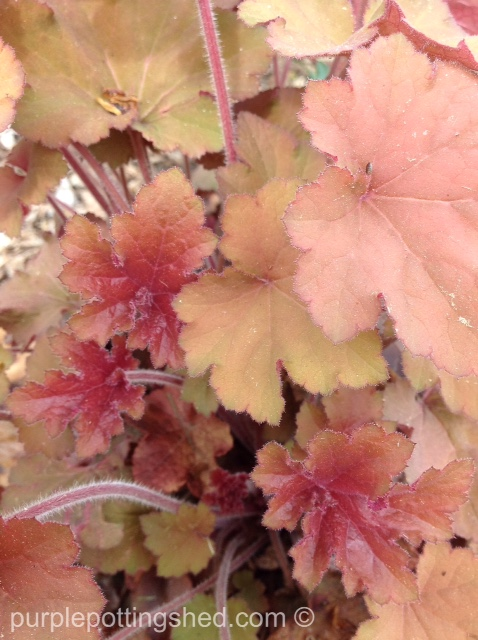 Coral bells, new leaves.jpg