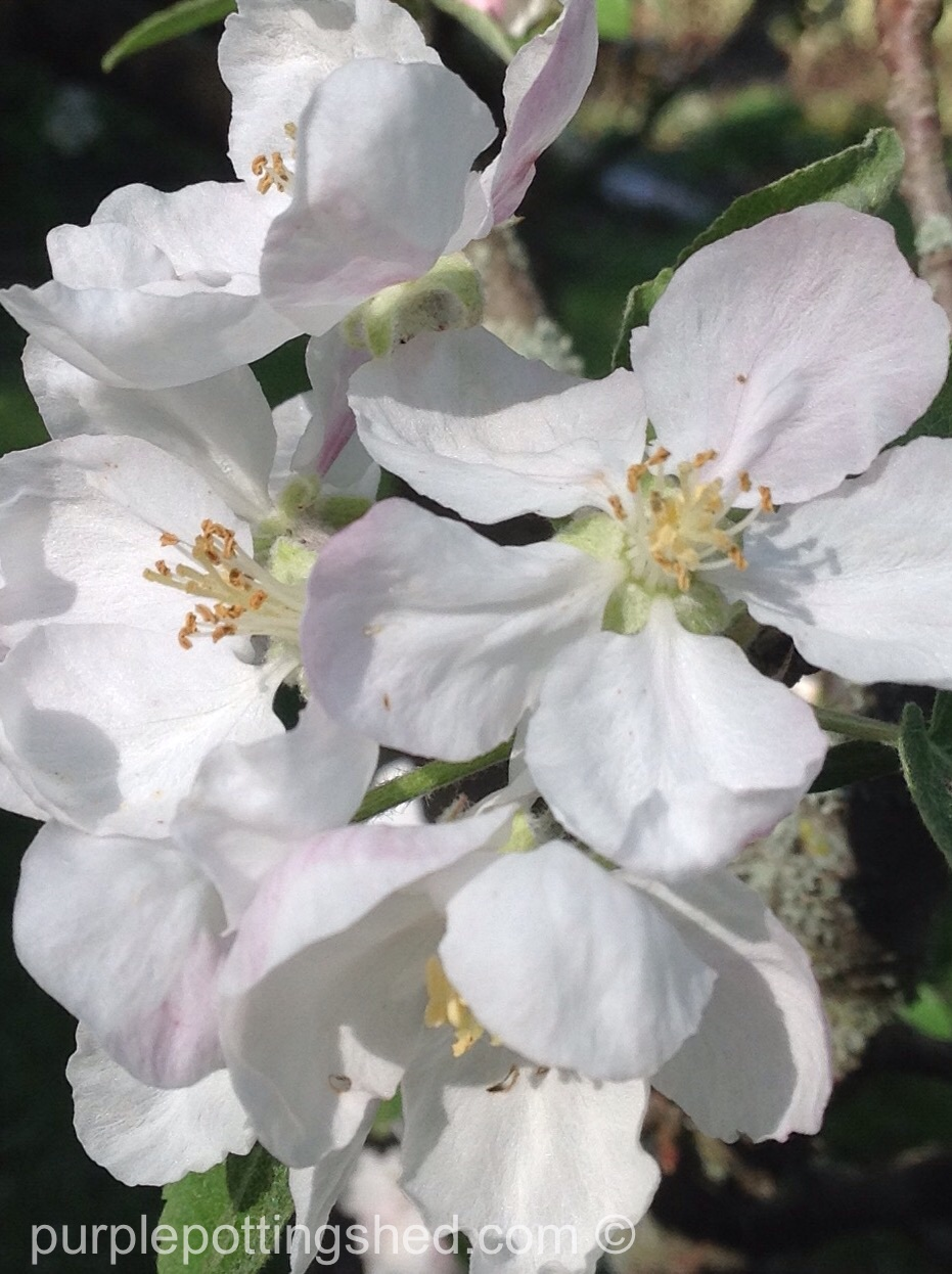 Apple blossoms, close.jpg
