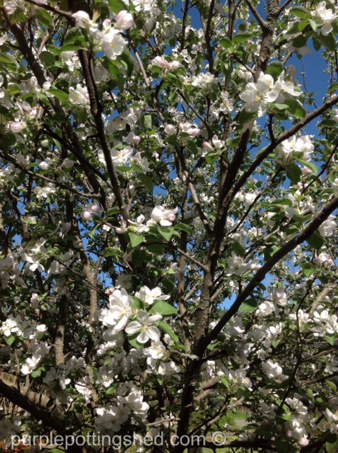 Apple tree, blooming branches.jpg