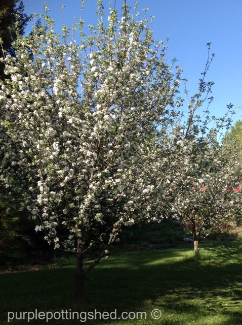 Apple trees in bloom.jpg