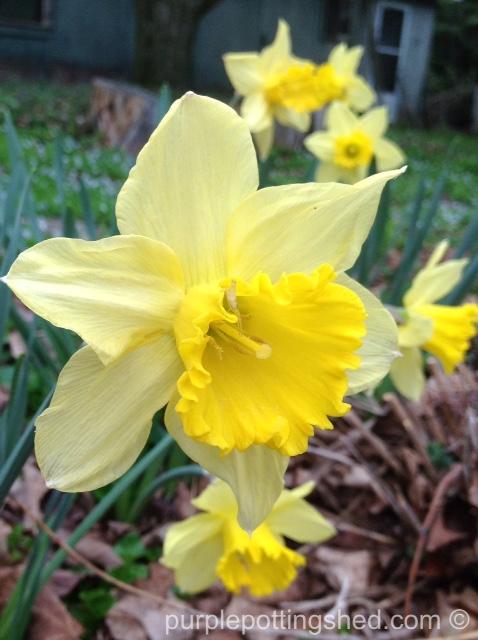 Daffodil, golden.jpg