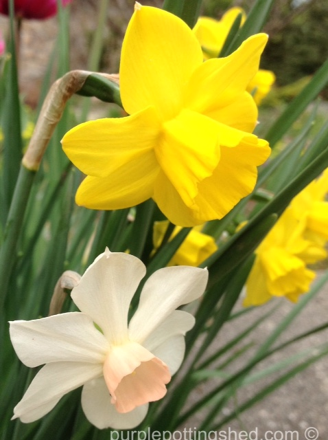 Daffodil, pair.jpg
