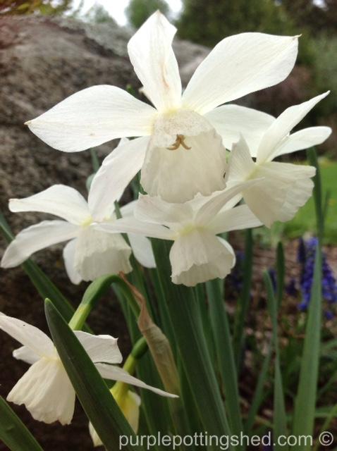 Daffodil, white.jpg