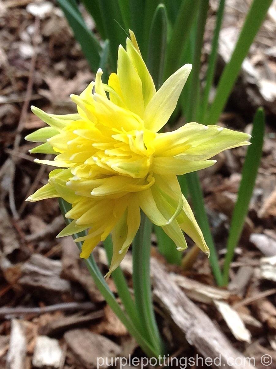 Daffodil, Rip Van Winkle.jpg