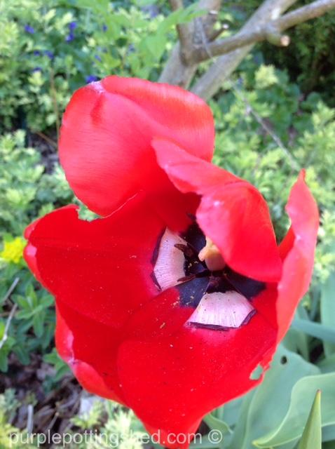 Tulip 7.jpg