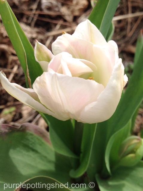 Tulip 9.jpg