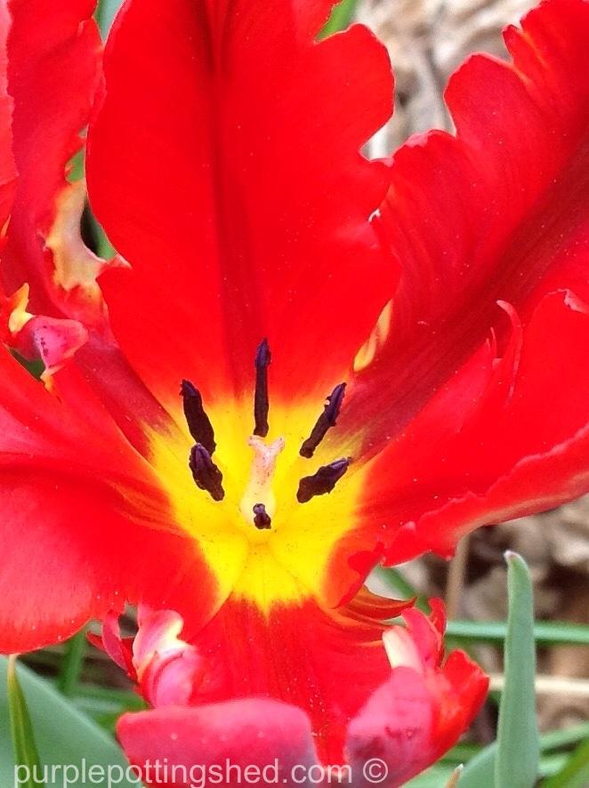 Tulip 10.jpg