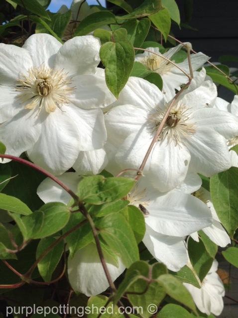 Clematis 'Guernsey Cream' blooms.jpg