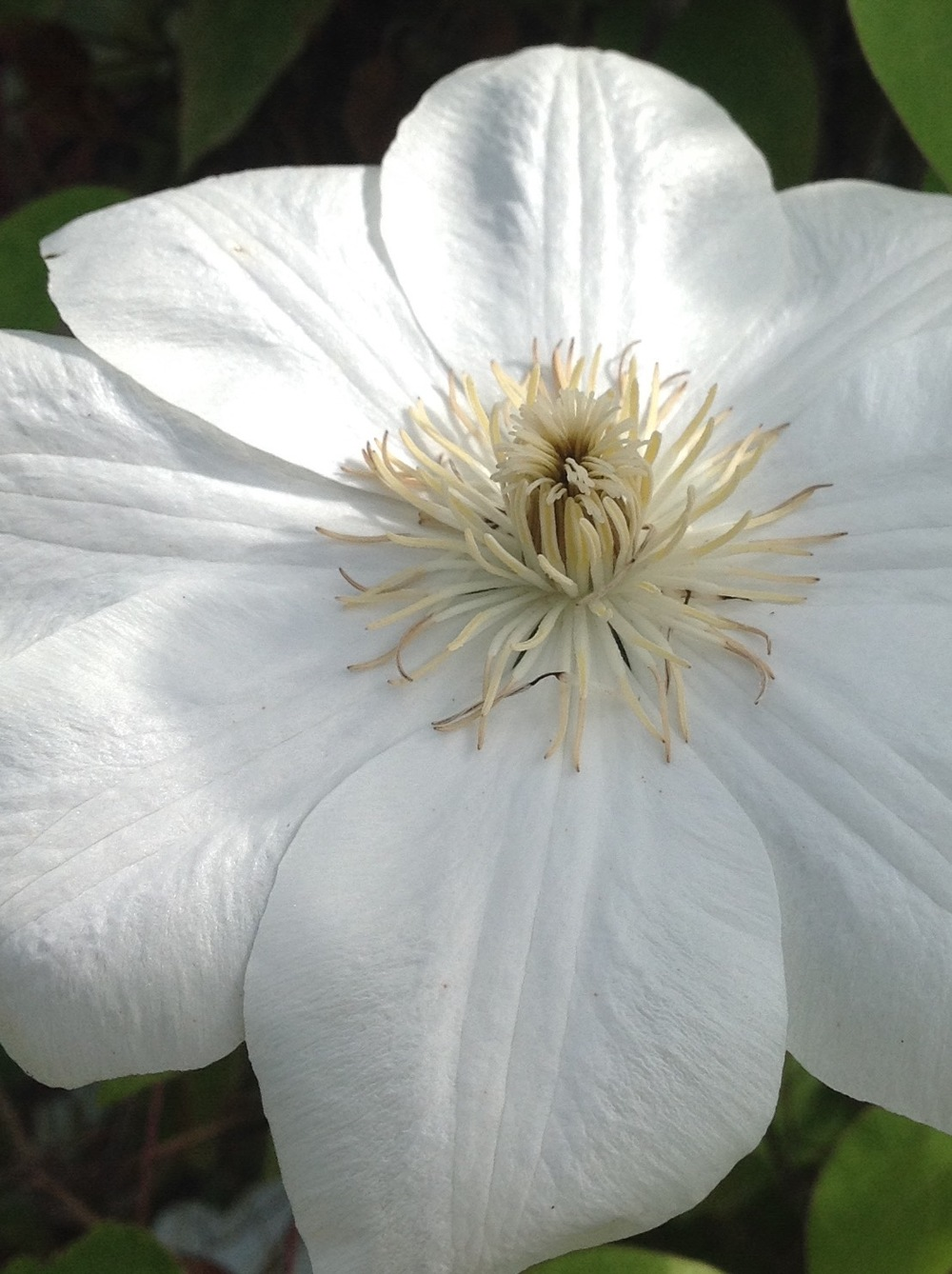 Clematis 'Guernsey Cream' close.jpg