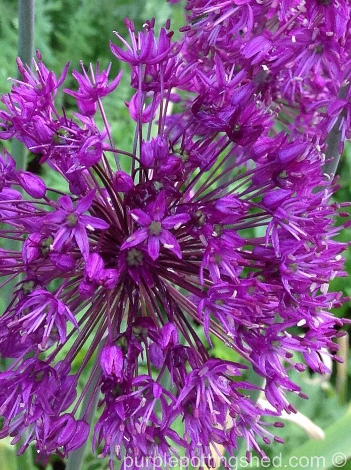 Allium, close.jpg