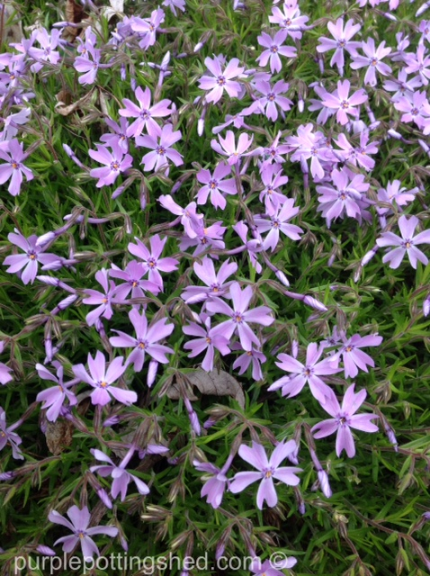 Creeping phlox blooms.jpg