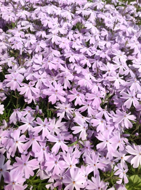 Creeping phlox, mass.jpg