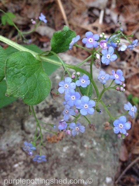Brunnera blooms.jpg