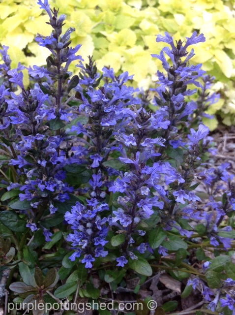 Bugleweed in bloom.jpg