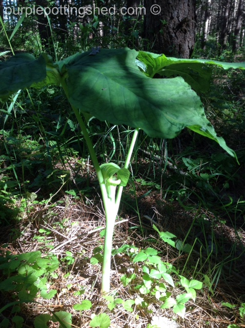 Jack in the pulpit, plant.jpg