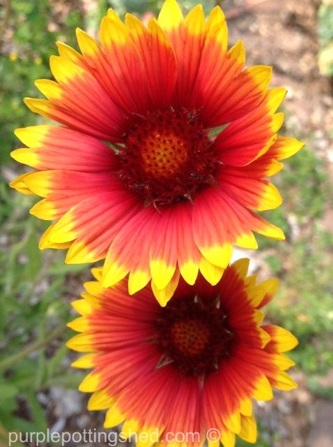 Blanket flower 3.jpg