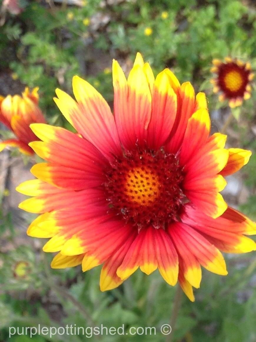 Blanket flower 2.jpg