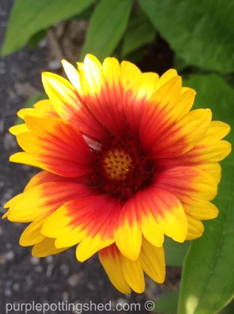 Blanket flower 5.jpg