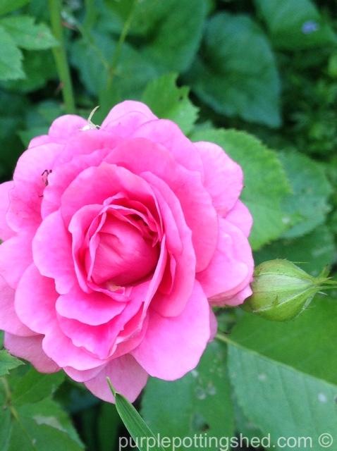 Rose, candy pink 2.jpg