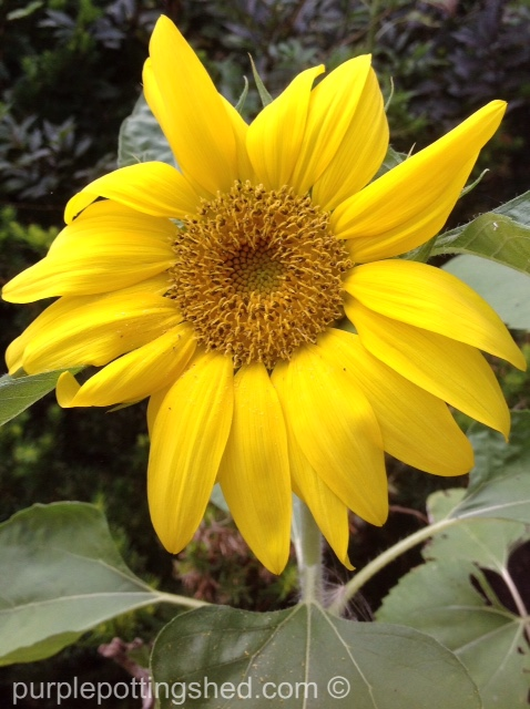 Sunflower 4.jpg