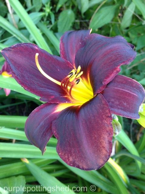 Daylily 12.jpg