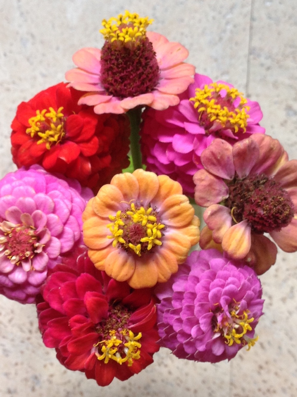 Zinnias, multi colour.jpg