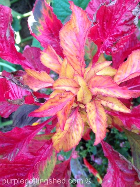 Amaranthus.jpg