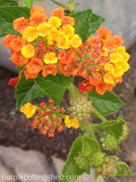 Lantana, orange.jpg