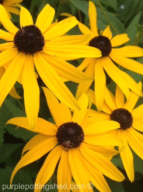 Rudbeckia close.jpg