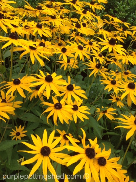 Rudbeckia patch.jpg