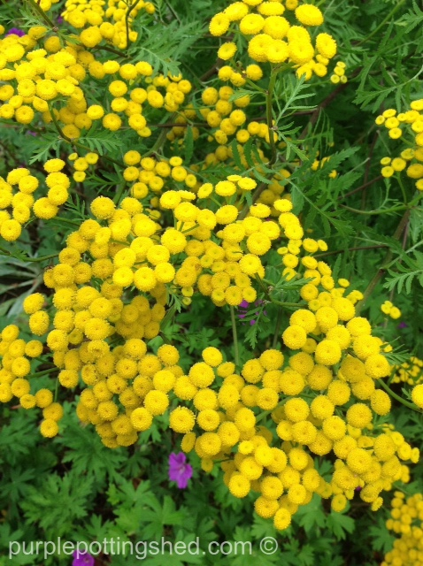 Tansy clusters.jpg