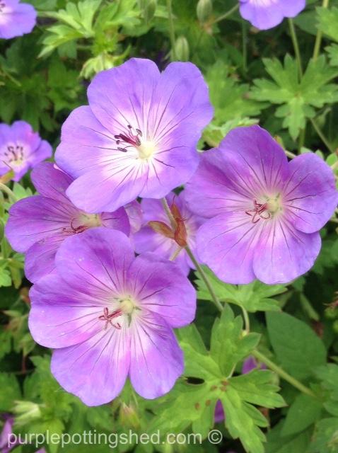Hardy geranium 1.jpg