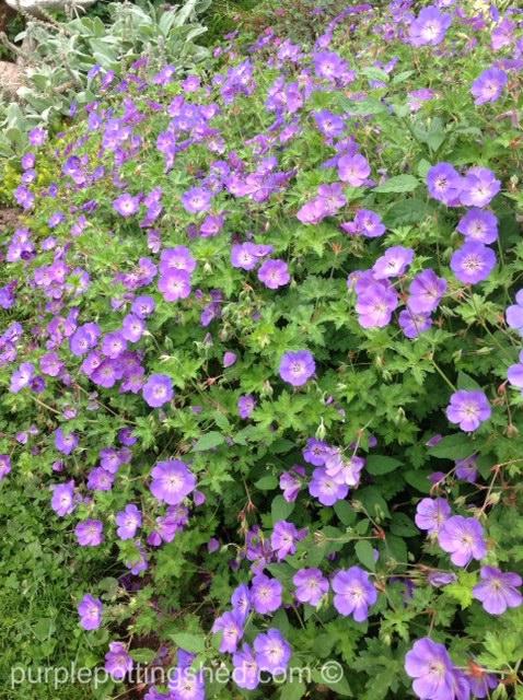 Hardy geranium 2.jpg