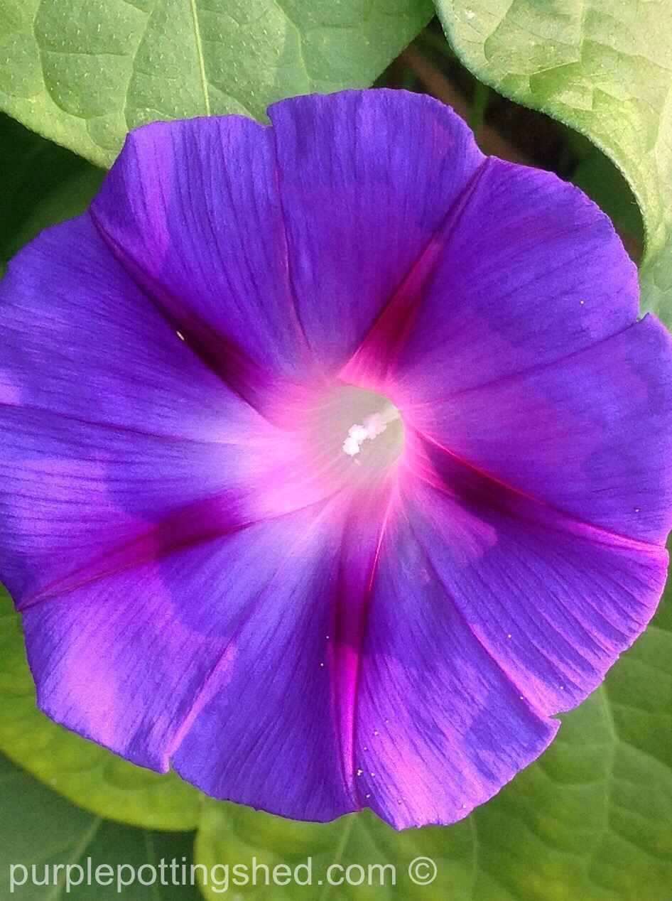 Morning glory 5.jpg