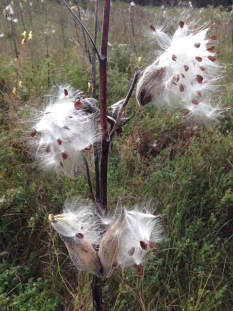Milkweed 1.jpg
