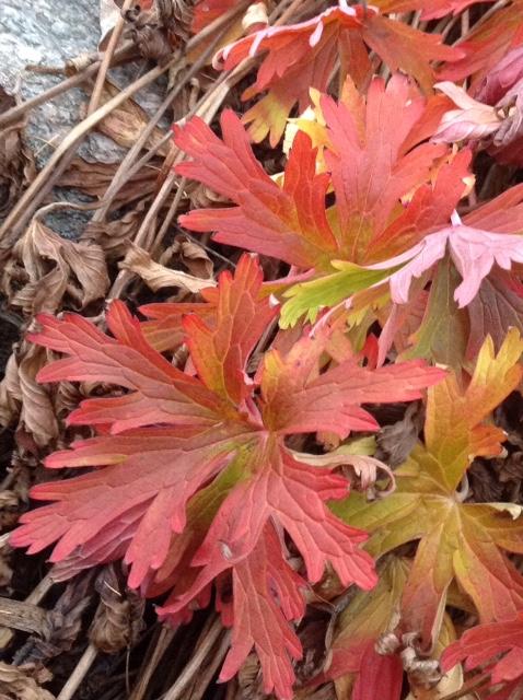 Hardy geranium, autumn 3.jpg