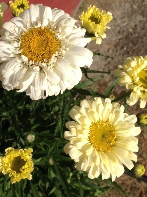 Daisy 1.jpg