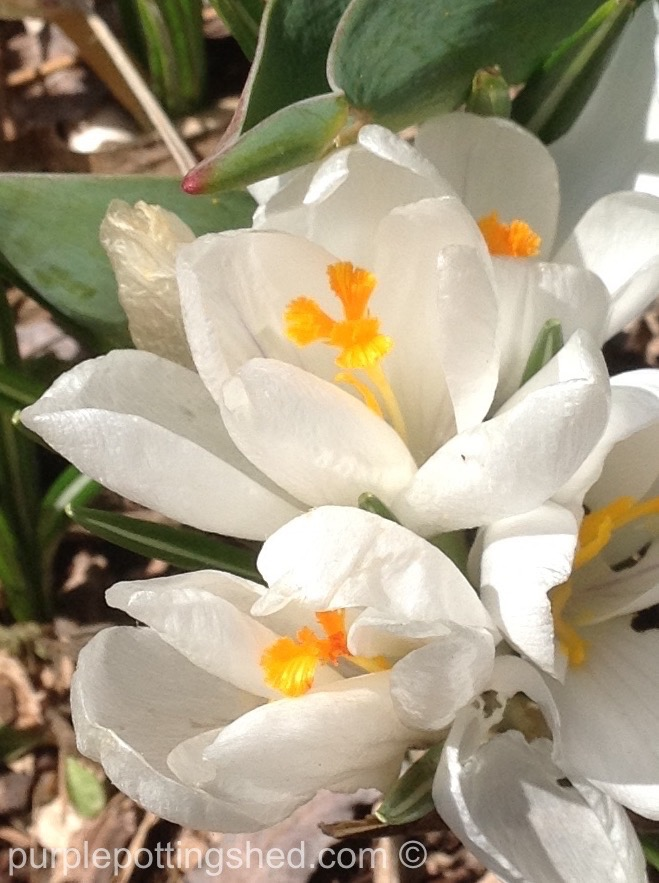 Crocus in white.jpg