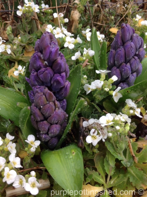 Hyacinth in bud.jpg