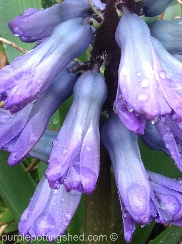 Hyacinth 4.jpg