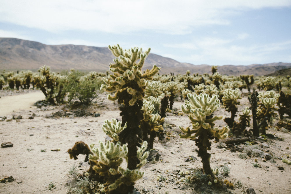 Joshua Tree and my favourite cacti