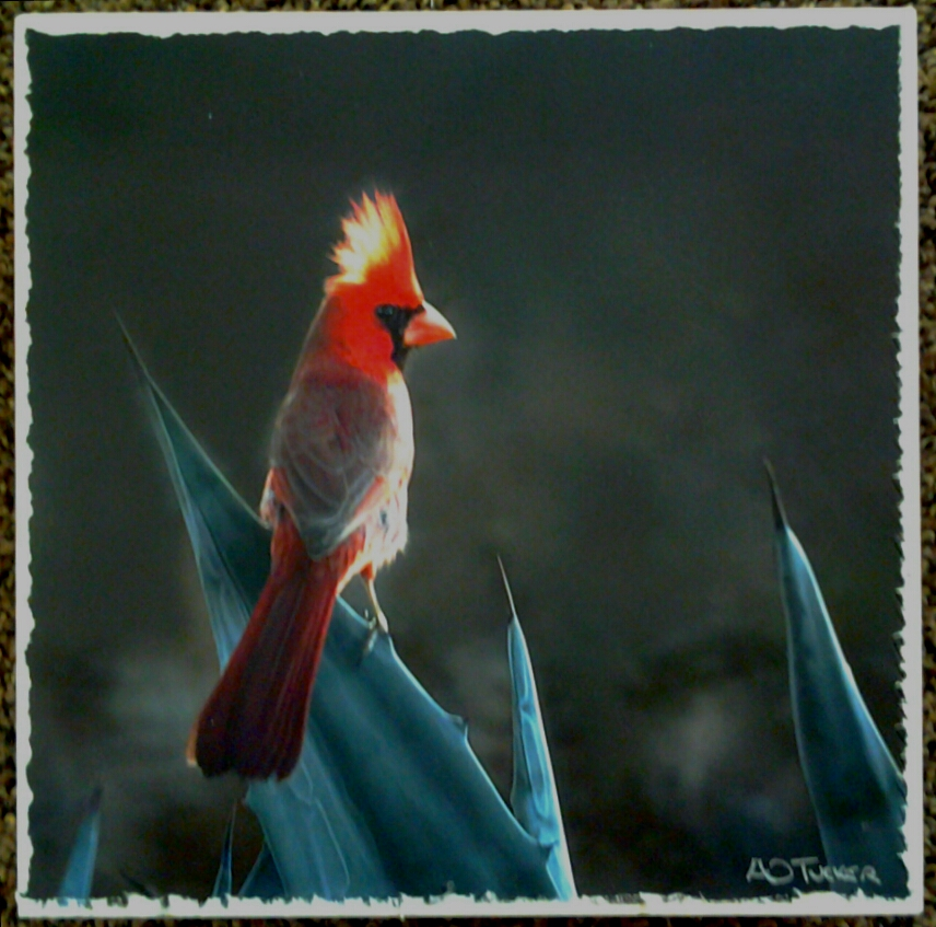 """Cardinal Crest Aglow"" original photograph museum box by A O Tucker - $125 (8"" x 8"")"