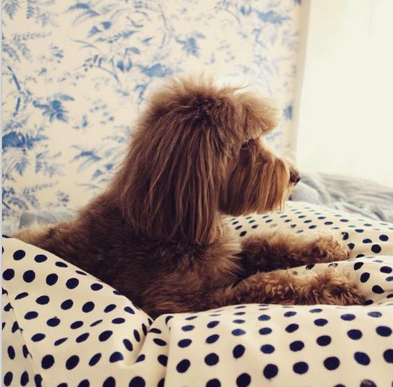 Inez van Lamsweerde's pup Leo at home.