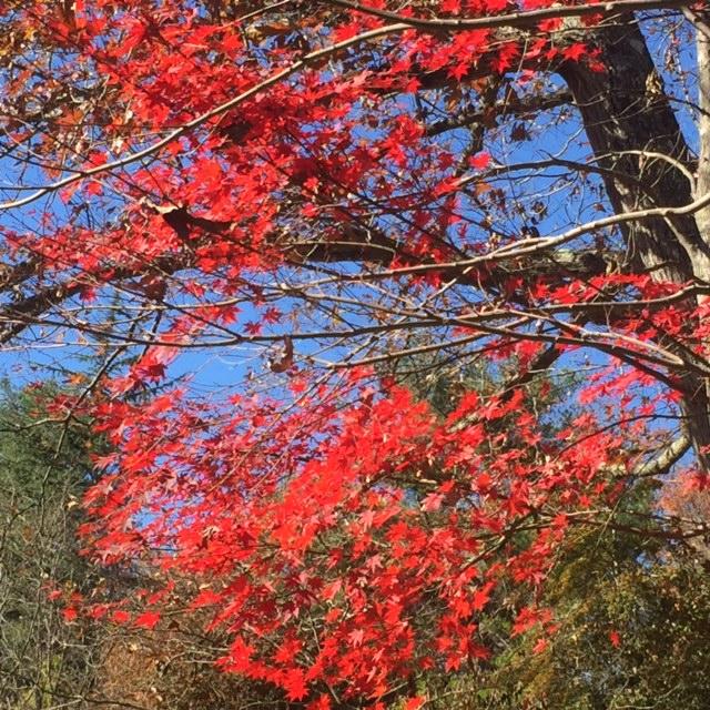 Maple tree ablaze